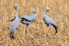 Blue crane bos beraad